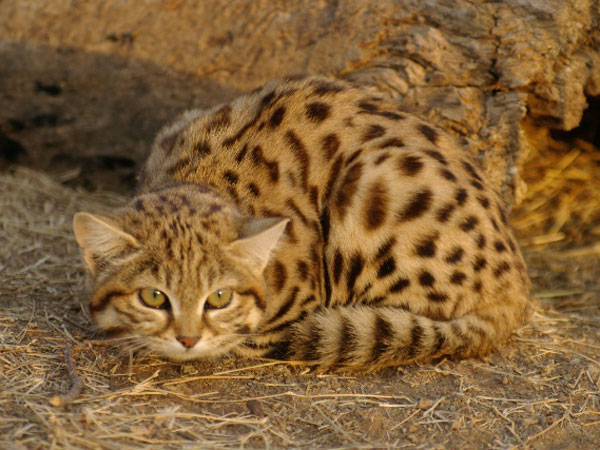 small spotted Cat - Karoo Cats