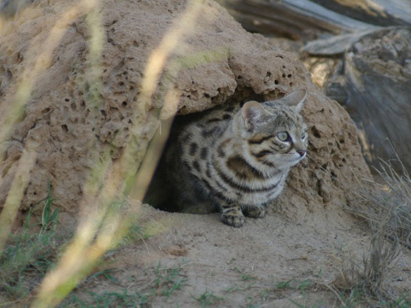 small footed cat - karoo cats